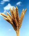 Пшеницу на 'базу'!