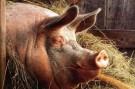 Ещё 350 запорожских свиней стали невольными жертвами африканской чумы